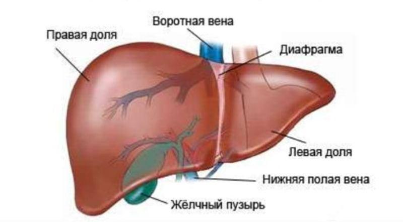 Анатомия воротной вены печени, ее притоки и норма при диагностике