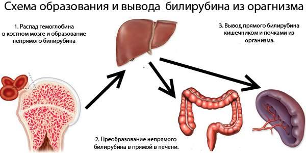 Нормы билирубина в анализе крови