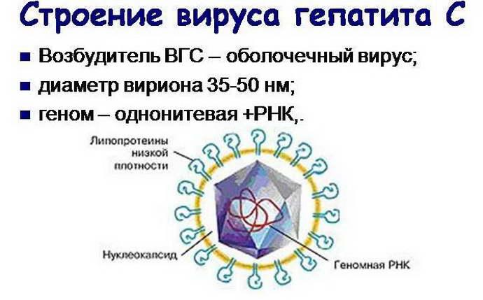 гепатит с сколько живет во внешней среде