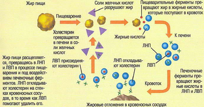 от куда берется холестирин