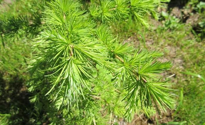 Основной составляющей препарата является вытяжка из сибирской лиственницы.